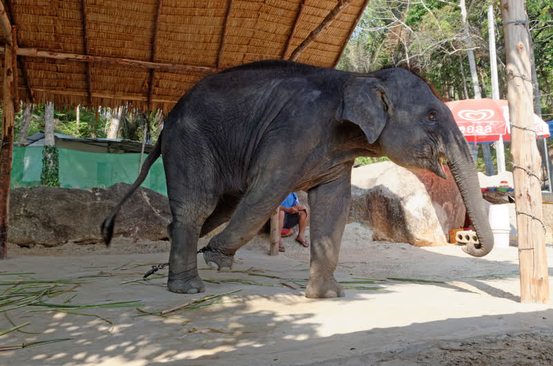 report exploitation of elephants in asian countries including india