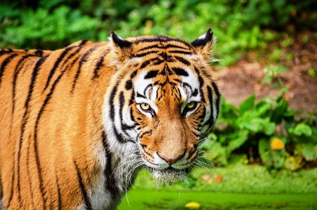 CSR campaigns for International Tiger Day