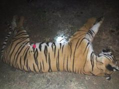 Tigress Avni Killed