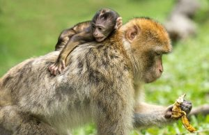 monkey with her baby