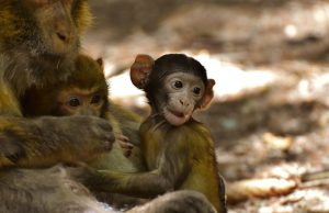 Barbary Ape - Endangered Species - On verge of Extinction