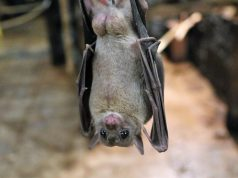 Fruit Bats are natural carriers of Nipah Virus