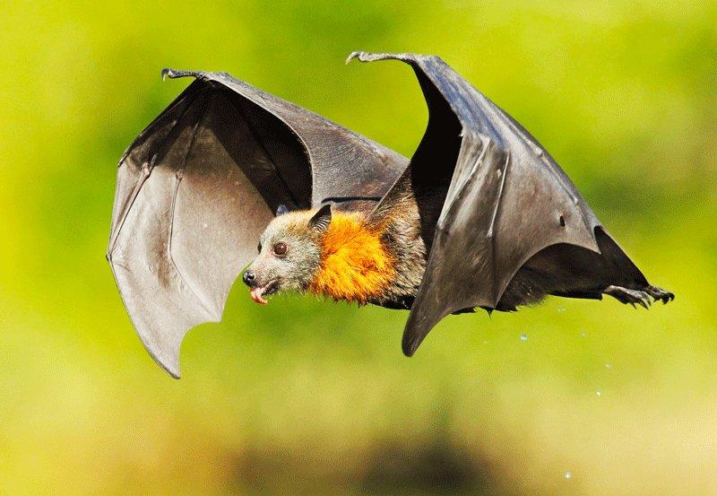 Indian flying fox