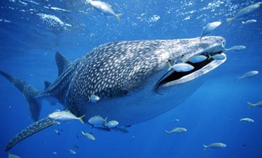 save the whale shark - marine conservation