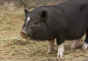 Pygmy Hog - Endemic to Eastern Himalayas