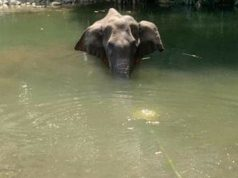 Pregnant Elephant Died after Eating Crackers