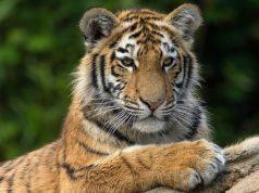 International Tiger Day 2020