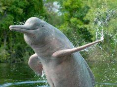 ganga river dolphin