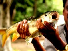 Act for Mahseer